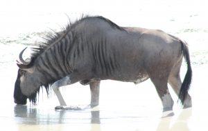 1-5-2010-etosha-wildebeest