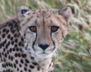 3-5-2010. Etosha. Cheetah (35)