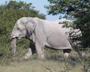 30-4-2010-etosha-elephant-1-3