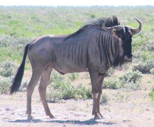 30-4-2010. Etosha. Wildebeest (3)
