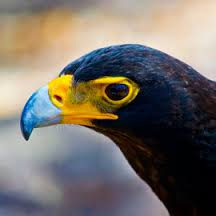 black-eagle-11