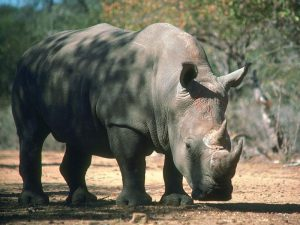 blackrhinoceros_16