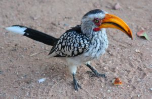 southern-yellowbilled-hornbill-15