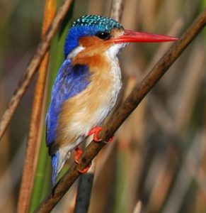 ABC Kingfisher