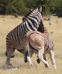 zebras-fighting-e-3